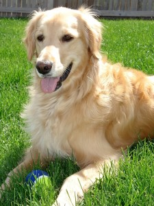 golden-retriever-453122_640